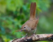 Nachtigall, Luscinia megarhynchos; Nightingale