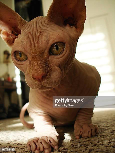 Naked Cat Up-Close