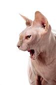 Naked Sphynx cat