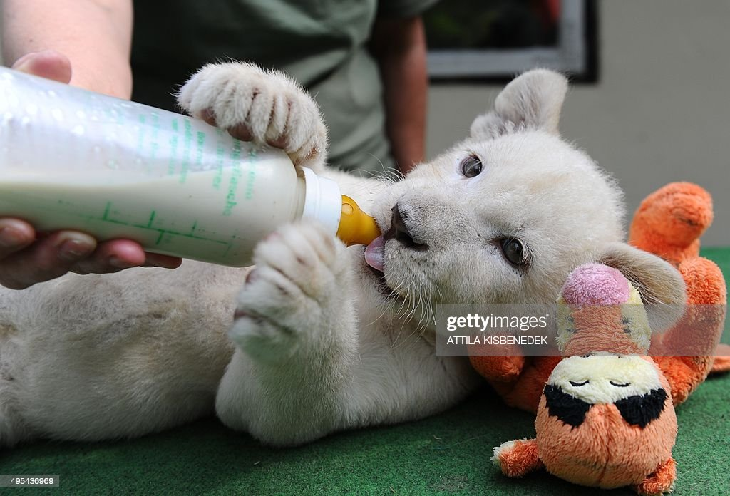 Nala, one of the two eight-week old white lion cubs, drinks from a bottle in her new home in Abony, Hungary on June 3, 2014. The brother and sister lions, one of the rarest animals on the planet, were born April 1, 2014 in northern Italy but were brought last month to a private zoo in Abony, 90 kilometres east of Budapest. AFP PHOTO / ATTILA KISBENEDEK