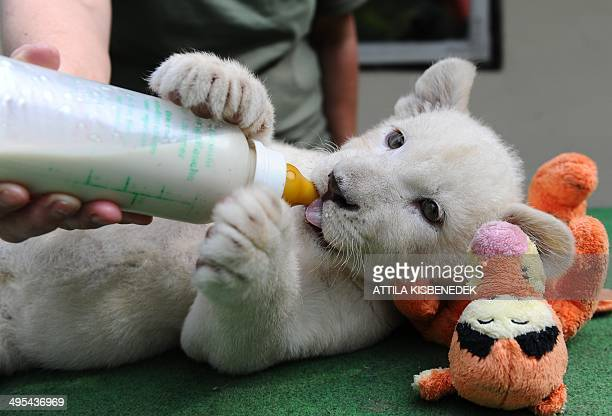 Nala one of the two eightweek old white lion cubs drinks from a bottle in her new home in Abony Hungary on June 3 2014 The brother and sister lions...