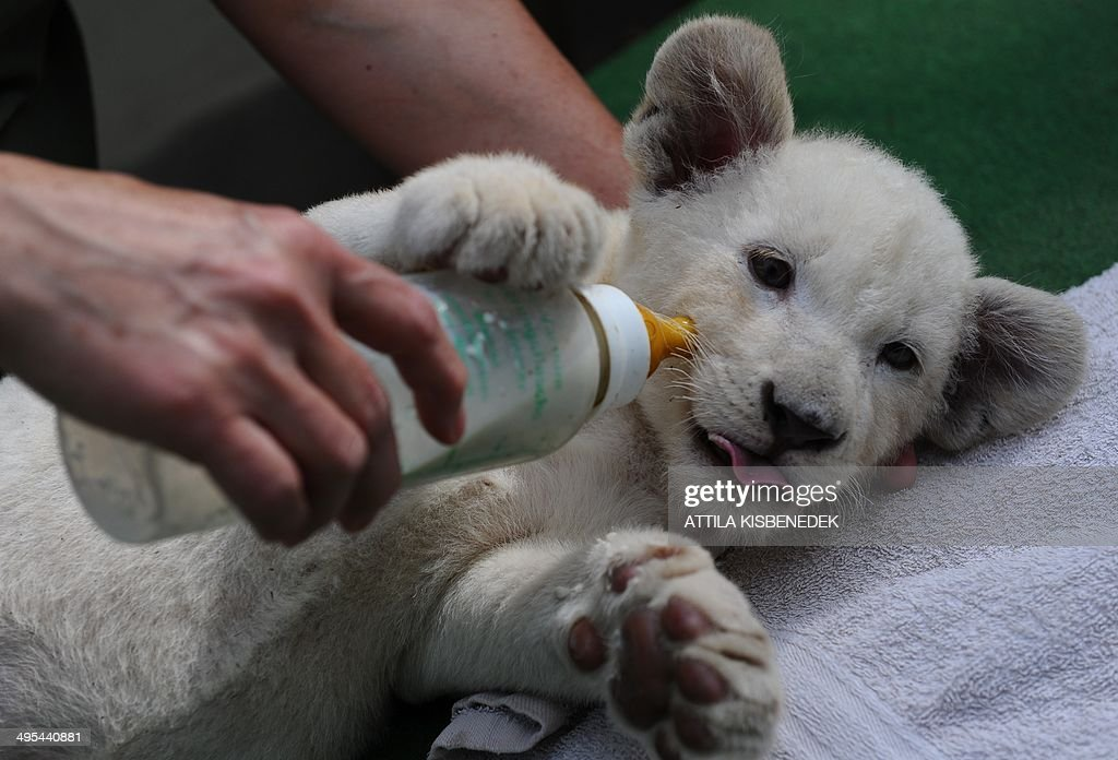 Nala, one of the two eight-week old white lion cubs, drinks from a bottle in her new home in Abony, Hungary on June 3, 2014. The brother and sister lions, one of the rarest animals on the planet, were born April 1, 2014 in northern Italy but were brought last month to a private zoo in Abony, 90 kilometres east of Budapest.