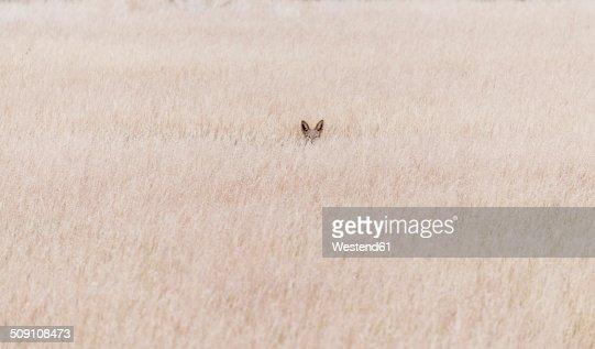 Namibia, Damaraland, Jackal in veld