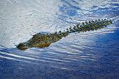 Namibia, Erindi Private Game Reserve, swimming Nile crocodile, Crocodylus niloticus