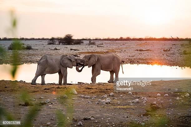 Namibia, Etosha National Park, elephants at a waterhole at sunset