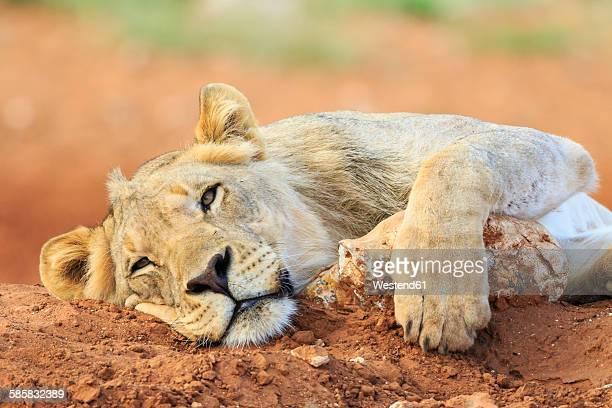 Namibia, Etosha National Park, lazy young lion