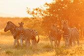 Namibia, Etosha National Park, plains zebras by sunset