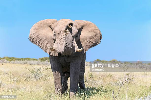 Namibia, Etosha National Park, portrait of African elephant