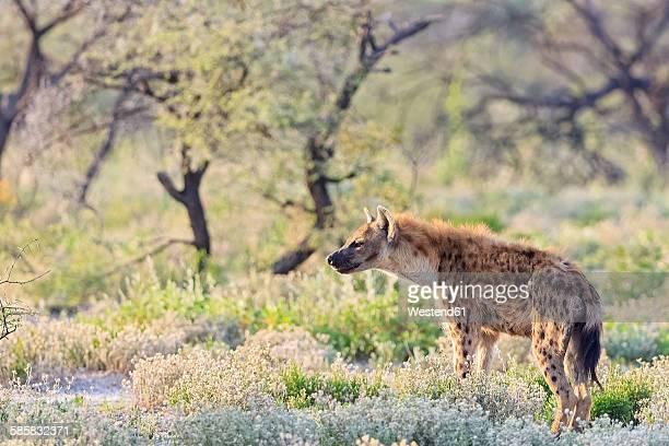 Namibia, Etosha National Park, spotted hyena