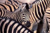 Namibia Etosha National Park Zebras