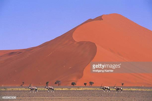 Namibia Namibnaukluft Park Sossusvlei Sand Dune With Oryx