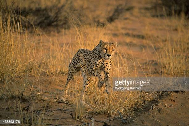 Namibia Okonjima Cheetah Jumping