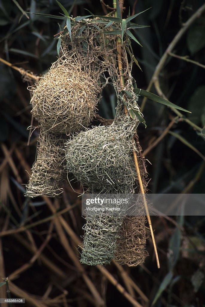 Namibia Skeleton Coast Kunene River Masked Weaver Nests