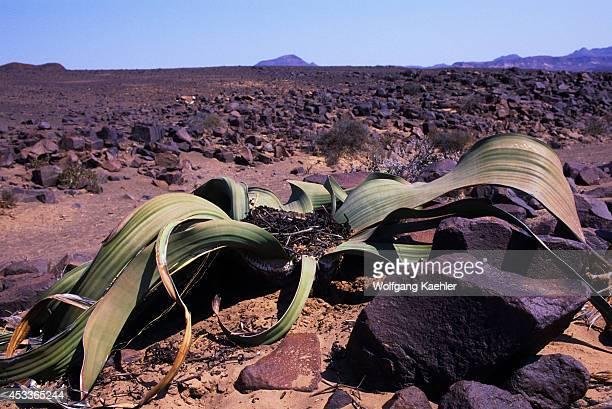Namibia Skeleton Coast National Park Kuidas Valley Welwitschia