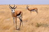 Springboks in the plain of Etosha National Park