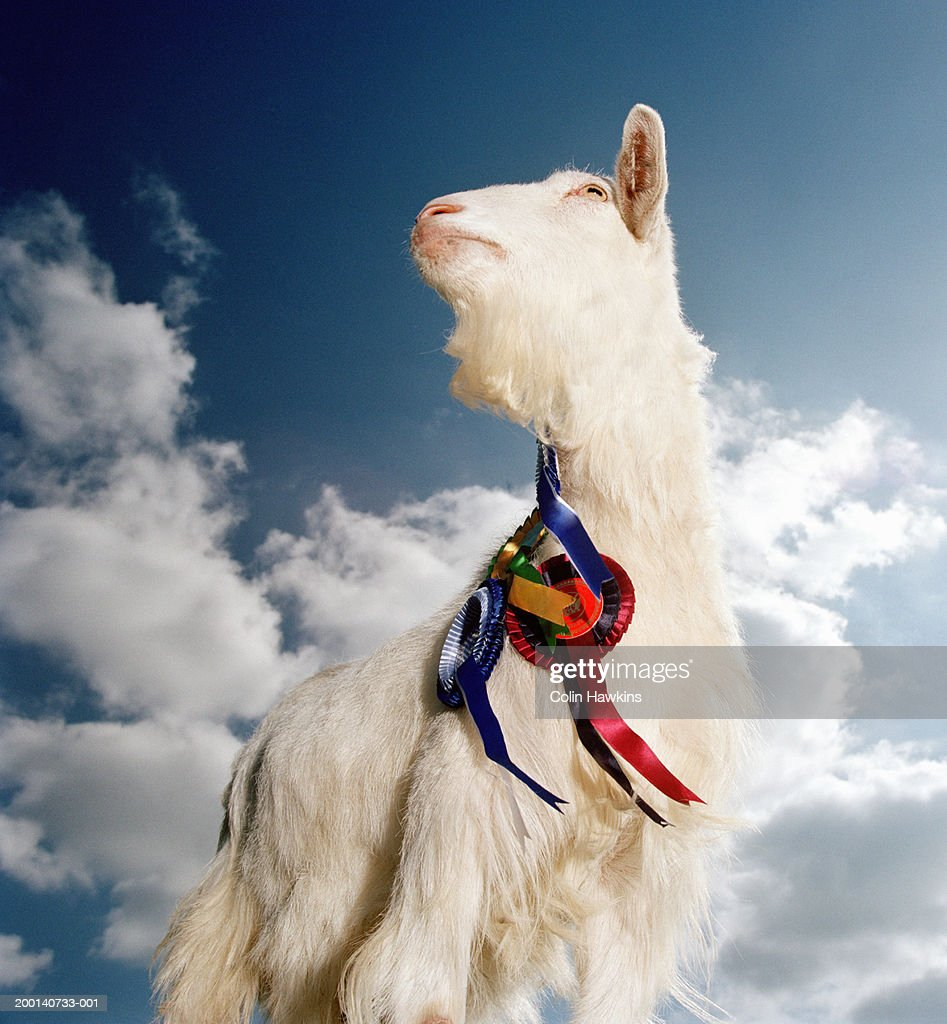 Nanny goat wearing rosettes  outdoors, low angle view