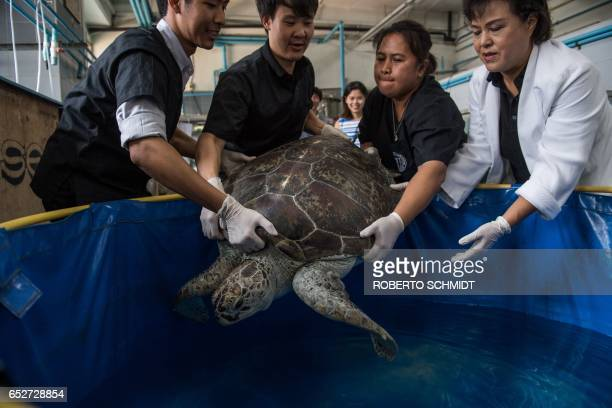 Nantrika Chansue a veterinarian in charge of Chulalongkorn hospital's aquatic research centre and staff handle a sea turtle dubbed 'Piggy Bank' at...