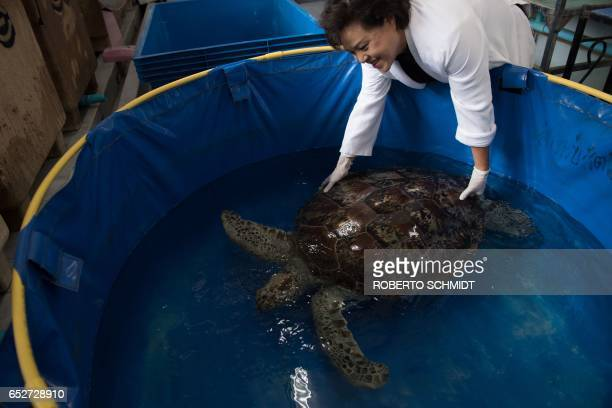 Nantrika Chansue a veterinarian in charge of Chulalongkorn hospital's aquatic research centre handles a sea turtle dubbed 'Piggy Bank' at the...