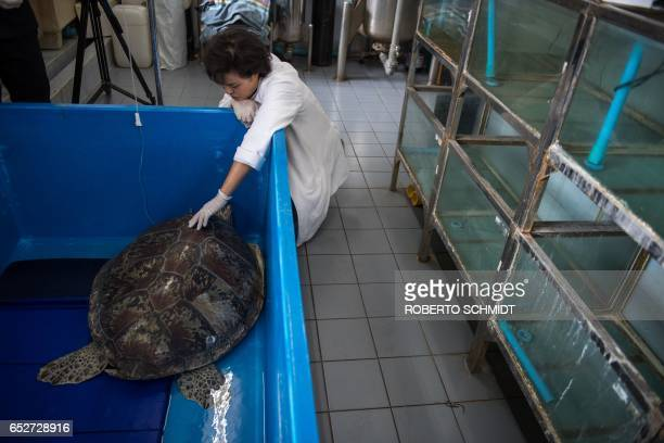 Nantrika Chansue a veterinarian in charge of Chulalongkorn hospital's aquatic research centre touches a sea turtle dubbed 'Piggy Bank' at the...