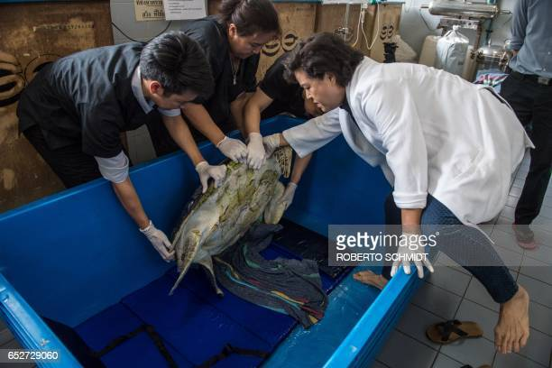 Nantrika Chansue a veterinarian in charge of Chulalongkorn hospital's aquatic research centre examines a sea turtle dubbed 'Piggy Bank' at the...