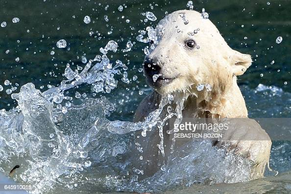 Nanuq a female polar bear cub swims in the water at the Mulhouse zoo on February 27 2017 Nanuq was born on November 7 2016 / AFP / SEBASTIEN BOZON