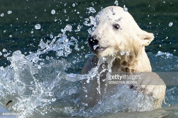 Nanuq a female polar bear cub swims in the water at the Mulhouse zoo on February 27 2017 Nanuq was born on November 7 2016 / AFP PHOTO / SEBASTIEN...