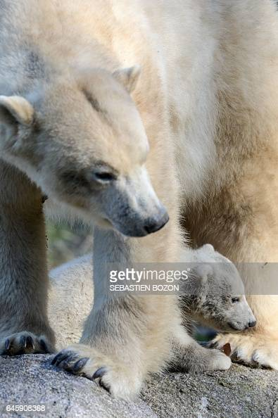 Nanuq a polar bear cub is pictured with her mother Sessi at the Mulhouse zoo on February 27 2017 Nanuq was born on November 7 2016 / AFP / Sebastien...