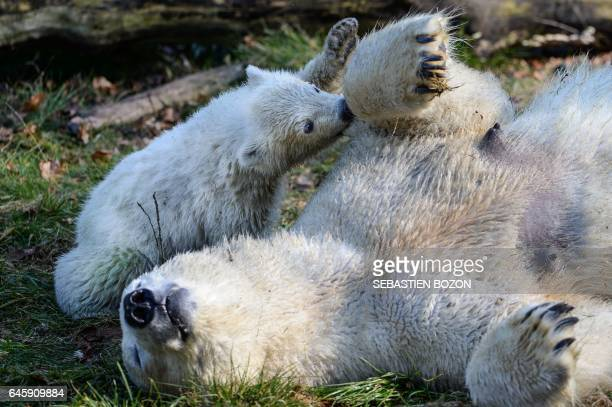Nanuq a polar bear cub is pictured with her mother Sessi at the Mulhouse zoo on February 27 2017 Nanuq was born on November 7 2016 / AFP PHOTO /...