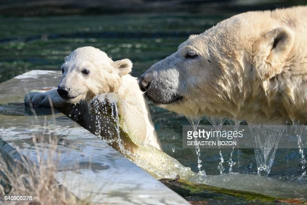 Nanuq a polar bear cub is pictured with her mother Sessi in the water at the Mulhouse zoo on February 27 2017 Nanuq was born on November 7 2016 / AFP...