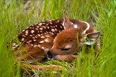 """""""Nikon D100,90mm,1/750s,f2.8.  A newborn fawn taking a nap in some tall grass."""""""