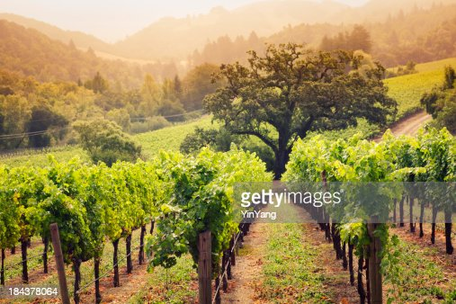 Napa Valley California Wine Country Vineyard Field Harvest for Winery