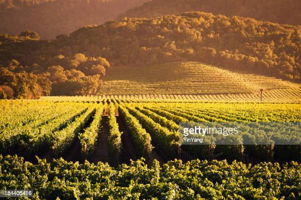 Napa Valley Grape Vineyard Landscape of California Field Vine Crop