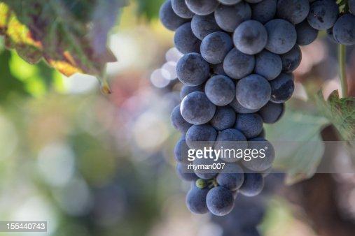 Napa Valley Grapes in a Vinyard