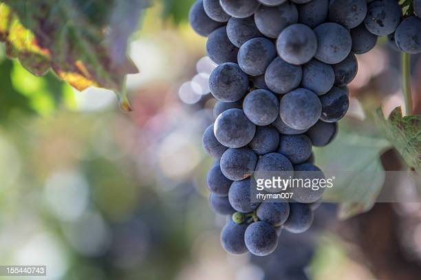 Napa Valley Grapes in a Vinyard
