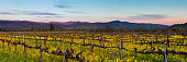 Napa California vineyard with mustard and bare vines. Purple mountains at dusk with wispy clouds.