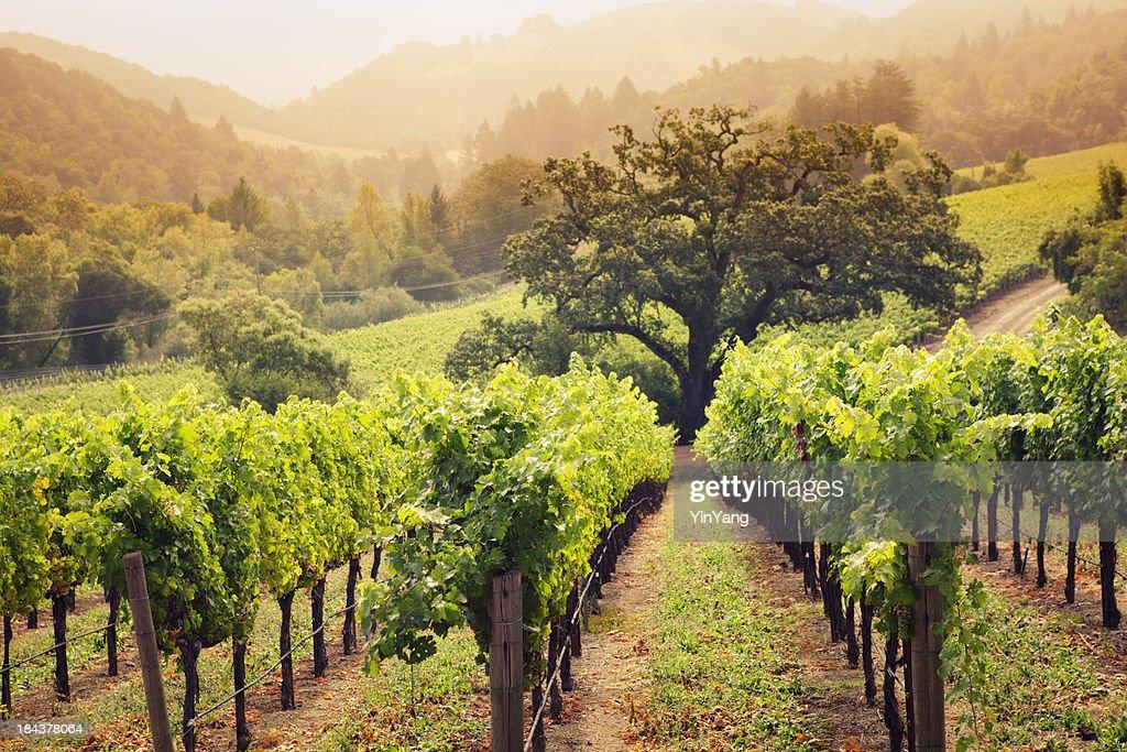 Napa Valley Wine Country Vineyard in Morning Fog