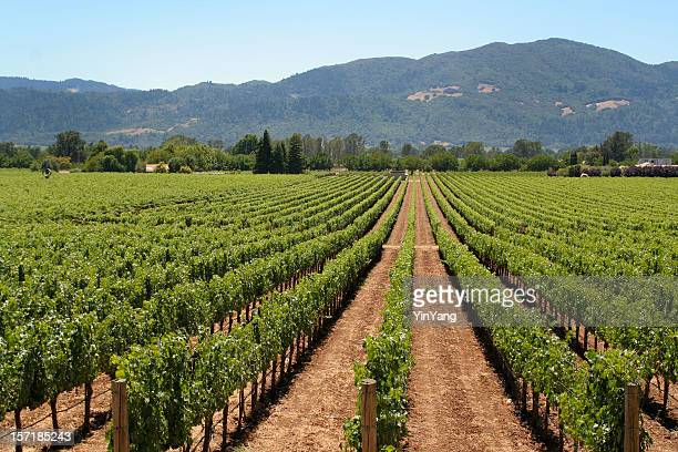 Napa Valley Winery Vineyard, with Rows of Agricultural Vines, California