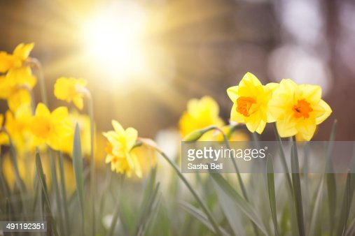 Narcissus and daffodil flowers