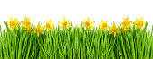 Narcissus flowers in green grass with water drops on white background. Floral border