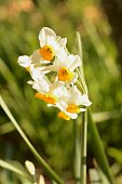 Narcissus flowers are in full bloom