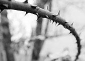 Narrow focus rose branch bw