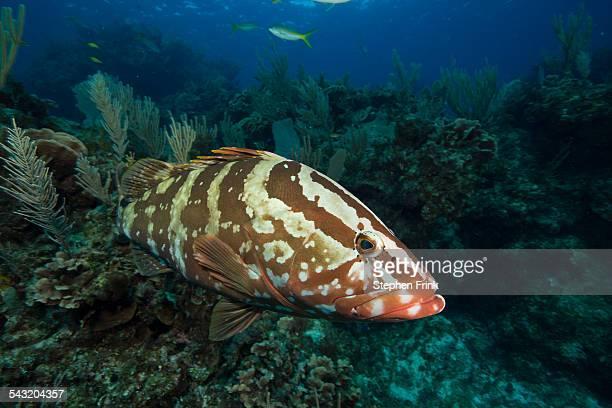 Nassau grouper on coral reef.