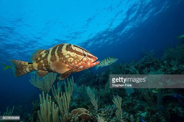 Nassau groupers (Epinephelus striatus).