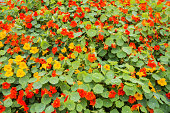 Nasturtium flowers of red and yellow colors.