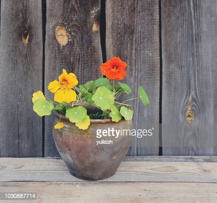 Nasturtium flower in a clay pot on wooden wall background. : Stock Photo