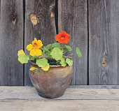 Nasturtium flower in a clay pot on wooden wall background.