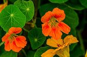 Nasturtium Flower is also known as Tropaeolaceae, tropaeolum, Tropaeolum Majus,