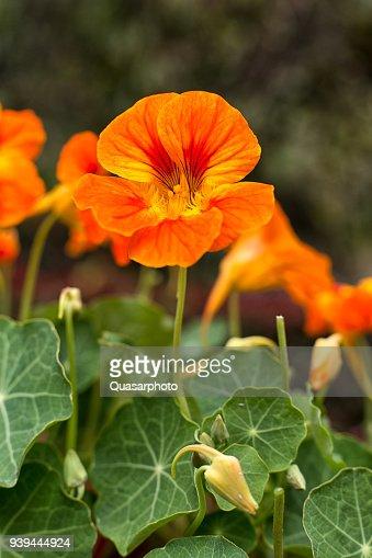 nasturtium flower : Stock Photo
