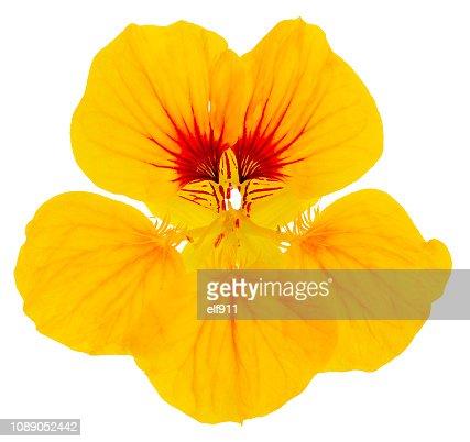 nasturtium flower yellow isolated : Stock Photo