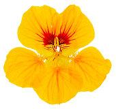 Nasturtium close-up single flower bright yellow isolated on white background